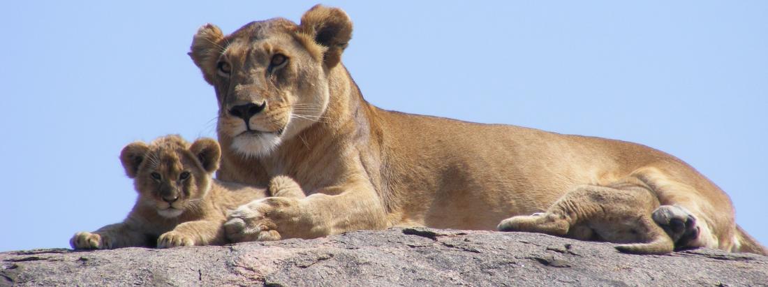 Save the Lions: FILMLÖWIN und die Kätzchenpause